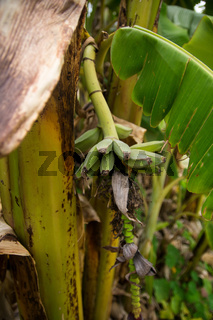 Small green Plantains