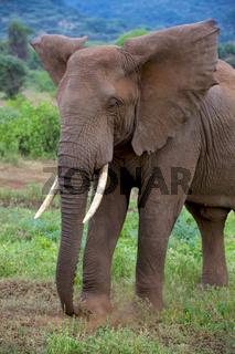 elephant at tarangire national park