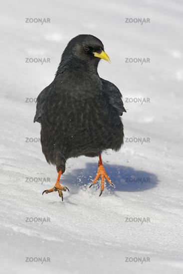 Alpendohle im Schnee, (Pyrrhocorax graculus), Dolomiten, Südtirol, Italien, Europa