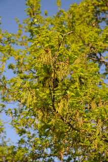 Quercus robur, Stieleiche, German oak, Austrieb, Blüten, young shoots, flowers