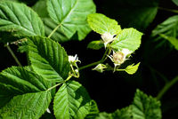 Blooming raspberry plant