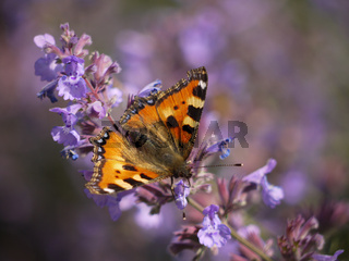 Kleiner Fuchs auf einer violetten Ziernessel