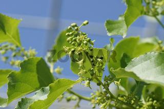 Celastrus orbiculatus, Baumwürger, Staff vine