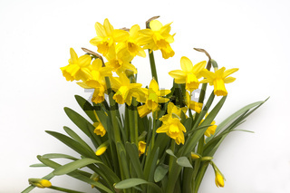 Narzisse; tete a tete; Narcissus; Osterglocke;