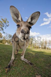 Oestliches Graues Riesenkaenguru, Australien