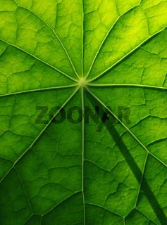 Blattoberfläche einer Kapuzinerkresse