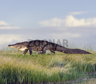 Large Florida Alligator