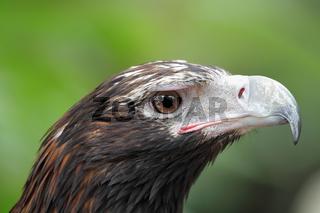 Keilschwanzadler (Aquila audax)