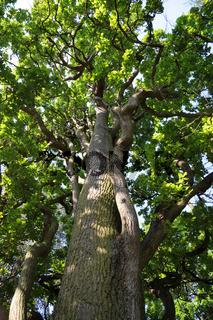 Quercus robur Cupressoides, Zypressenförmige Eiche