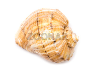 Sea Shell Closeup On White Background
