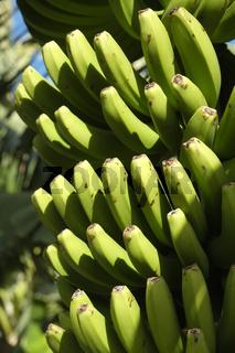 Bananenstaude, La Palma