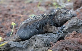 Galapagos Marine Iguana, Amblyrhynchus cristatus.