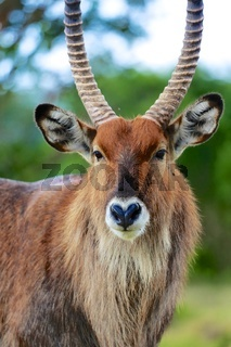 portrait of a waterbuck at the masai mara national park kenya