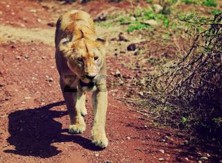 Female lion walking. Ngorongoro, Tanzania