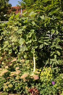 Lagenaria siceraria, Herkuleskeule, Calabash