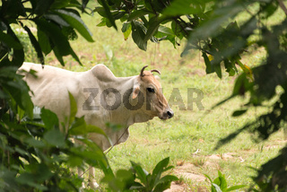 zebu cattle in tanzania