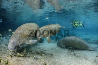 Trichechus manatus latirostris, Florida Seekuehe und Taucher, West Indian manatees and scuba diver, Three Sisters, Florida, USA