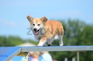 Pembroke Welch Corgi at a Dog Agility Trial