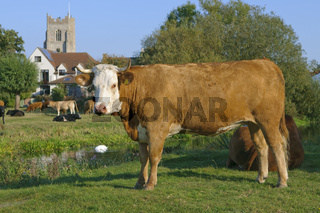 Dairy cow Suffolk UK