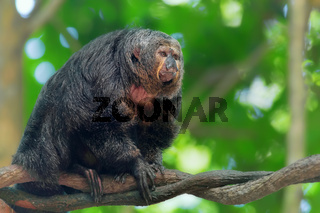 Saki Monkey Portrait