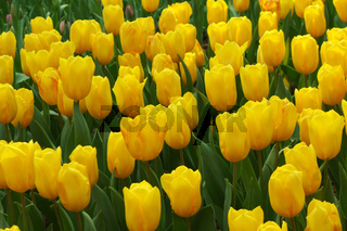Beautiful of tulips in Gardens by the Bay