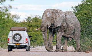 Elefant am Auto, Etosha-Nationalpark, Namibia; african elephant with a car, Loxodonta africana, Namibia