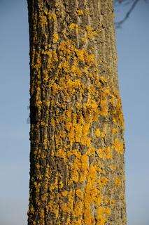 Xanthoria parietina, Gewöhnliche Gelbflechte, Common orange lichen, Stieleiche