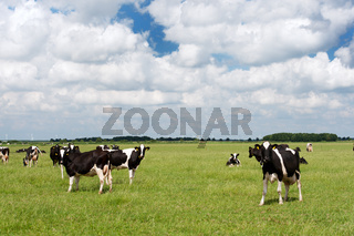 Cows in Dutch flat landscape