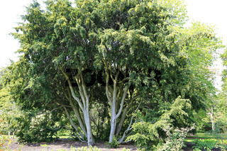 Pflaumen-Steineibe, Chilean plum yew, Prumnopitys andinus