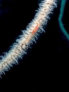 Gorgonien-Zwerggrundel (Bryaninops amplus)