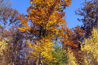 Buchenwald, Herbst, Herbstblaetter;