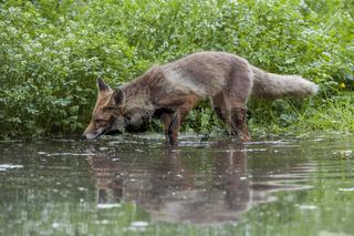 im Wasser... Rotfuchs *Vulpes vulpes*