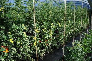 Lycopersicum esculentum, Tomate, Tomato