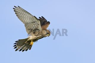 rüttelnd... Turmfalke *Falco tinnunculus*