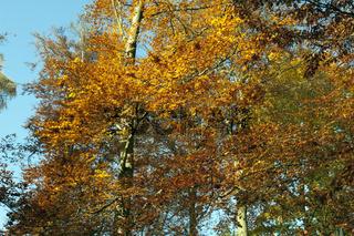 Buchenwald, Herbst, Herbstblaetter