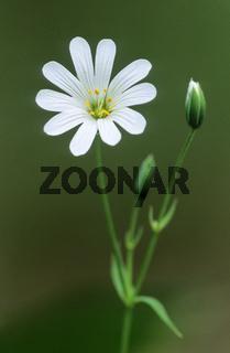 Grosse Sternmiere ist eine wichtige Nahrungspflanze fuer viele Nachtfalterarten - (Echte Sternmiere) / Greater Stitchwort is an important food plant for many species of moth - (Addersmeat)  / Stellaria holostea