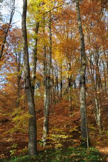 Fagus sylvatica, Quercus robur