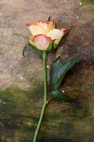 einzelne Rose auf Hintergrund aus Holz