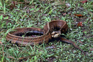 Wassermokassinotter ernaehrt sich ueberwiegend von Fischen und Froeschen - (Wassermokassinschlange) / Water Moccasin its diet consists mainly of fish and frogs - (Florida-Cottonmouth  -  Swamp Moccasin) / Agkistrodon piscivorus (conanti)