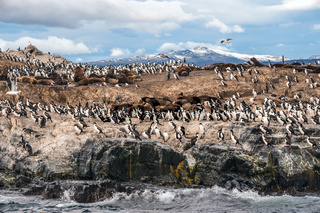 King Cormorant colony sits on an Island in the Beagle Channel. Sea lions are visible laying on the Island as well. Tierra del Fuego, Argentina - Chile