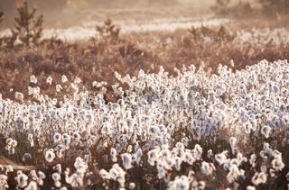 cotton-grass on marsh at sunrise
