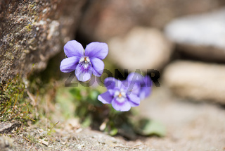 Wood violet plant