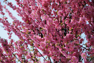 Prunus triloba Plena, Ziermandel, Flowering cherry