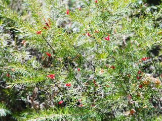 red blossoms on Juniper bush in spring