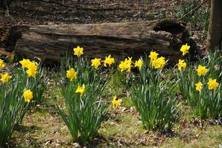 Narcissus pseudonarcissus, Trompeten-Narzisse