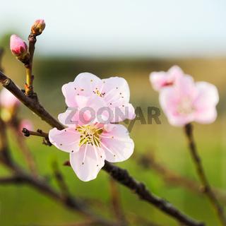 Mandelblüte am Baum im Frühling