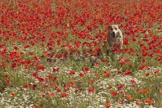 Hund in Mohnblumen