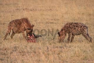 Crocuta crocuta,Spotted hyena,Tuepfelhyaene,hyena,hyaene,