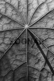 Blattoberfläche einer Kapuzinerkresse in Schwarz - Weiss