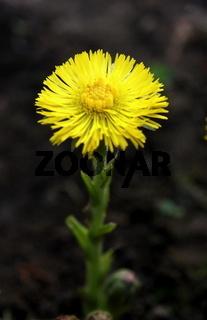 gelbe Huflattichblüte